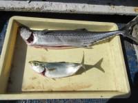 <p>和泉市の坂本様、沖の北で、サワラ・ツバス</p> <p>アジ・イワシの、のませ釣りで五時半ごろヒット!</p>