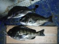 <p>引き続き、グレ・サンバソウが好釣!!</p> <p>和泉市の矢野様、沖の北で、49cmまでのチヌ 3匹</p> <p>落とし込み イガイ</p>