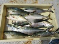 <p>奈良の田口様、沖の一文字北で、ツバス39cmまで4匹・サゴシ49cmまで4匹</p> <p>ルアー(バイブレーション)</p>