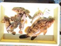 <p>岸和田市の田中様、沖の白灯で、44cmのアコウ!!</p> <p>他アコウ2匹・ガシラ4匹</p> <p>浮き釣り シラサエビ</p>