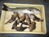 <p>貝塚市の津田様、中波止でアオイソメのウキ釣りで</p> <p>58cmハネ・23cmまでのガシラ9匹</p> <p>15cmイワシ(サビキ)が100匹程です!</p> <p>&nbsp;</p> <p>&nbsp;</p>
