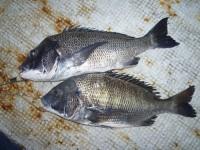 <p>東大阪市の西田京子様、沖の北でイガイの落とし込みの釣果です</p> <p>チヌ46cmまで2匹</p>