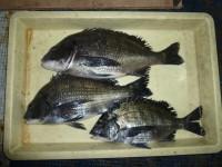 <p>堺市の岡田様(2人)旧の一文字赤灯で、チヌ43cmまで3匹</p> <p>紀州釣り 餌オキアミ</p>