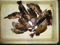 <p>貝塚市の津田様、中波止2番で、ガシラ23cmまで10匹</p> <p>ウキ釣り 餌シラサエビ</p>