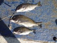 <p>大阪市の濱本様 沖の北で50cmのチヌを頭に3匹</p> <p>オキアミのフカセ釣り</p> <p>小さいのはリリースしたそうです</p>