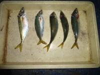<p>奈良県の小杉様、沖の一文字北で30cmの大アジ5匹</p> <p>飛ばしサビキでの釣果です。</p>