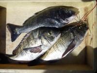 <p>橋本市の柳本様、旧の一文字赤灯で、チヌ42cm3匹</p> <p>フカセ釣り 餌オキアミ</p>