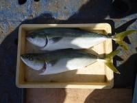 <p>豊中市の池田様、沖の一文字白灯で、メジロ70cmまで2匹</p> <p>のませ釣り 餌アジ</p>