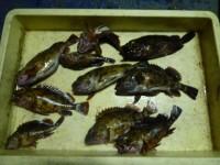 <p>貝塚市の津田様、中波止でアオイソメのウキ釣りで</p> <p>24.5cmまでのガシラ10匹です!</p>