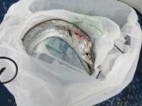 <p>泉佐野市の石本様 沖の北で</p> <p>悪天候の中 タチウオをゲット!</p> <p>ワインドでの釣果でした。</p> <p>&nbsp;</p> <p>&nbsp;</p>