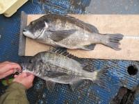 <p>松原市の橘様、沖の一文字北で、チヌ49cmまで2匹</p> <p>落とし込み 餌イガイ</p>