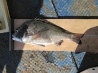 <p>河内長野市の浅野様、沖の一文字北でチヌ49cm前後1匹</p> <p>フカセ釣り 餌オキアミ</p>