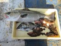 <p>岸和田市の田中様、沖の一文字北で、スズキ73cm1匹・チヌ34cm1匹・アコウ28cmまで3匹・ガシラ20cm前後3匹</p> <p>ウキ釣り 餌シラサエビ</p>