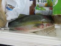 <p>大阪市の松原様の弟子(天堂様)沖の一文字北で、ハマチ53cm1匹</p> <p>のませ釣り 餌アジ</p>