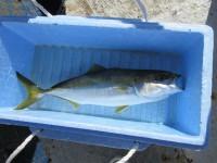 <p>堺市の内山様 沖の北で</p> <p>ハマチ</p> <p>アジの飲ませ釣り</p>