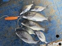 <p>門真市の濱本様、沖の一文字北で、チヌ50.5cmまで7匹</p> <p>フカセ釣り 餌オキアミ</p>