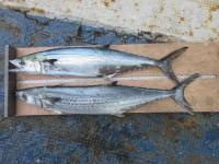 <p>釣りクラブ「幻影漁団」様、沖の北で、55cmと60cmのサゴシ等</p> <p>ルアー</p>