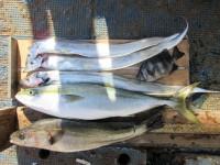 <p>堺市の山根様のその他の釣果です!</p> <p>55cmのハネ、95cmまでのタチウオ 3匹等</p>