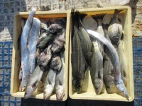 <p>奈良の松下様・山下様、本日も好釣!!</p> <p>沖の北で、セイゴ・ハネ 9匹、サンバソウ 6匹、タチウオ 3匹、</p> <p>サヨリ等</p> <p>&nbsp;</p>