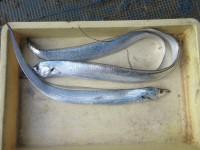 <p>堺市のスガチャン、沖の一文字北で、太刀魚 指4本サイズまで3匹</p> <p>ウキ釣り 餌キビナゴ</p>