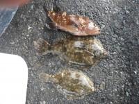 <p>吹田市の中村様、沖の一文字北で、カレイ28cmまで2匹・アコウ30cm前後1匹</p> <p>投げ釣り 餌アオイソメ</p>