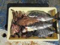 <p>岸和田市の田中様 沖の北でチヌ43センチまでを 3匹</p> <p>アコウ35センチ 良型のガシラなど</p> <p>ウキ釣り 餌シラサエビ</p>