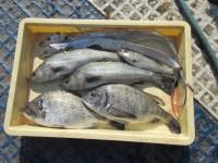 <p>奈良の山下様 沖の北で</p> <p>良型の太刀魚と チヌ ハネなど</p> <p>ウキ釣り えさ キビナゴ シラサエビ</p>