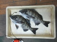 <p>堺市のりっちゃんパパ、中波止で、25cm・41cm・43cmのチヌ</p> <p>フカセ釣り オキアミ</p>
