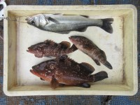 <p>岸和田市の田中様、沖の一文字白灯で、アコウ27cm~39センチまで3匹</p> <p>ウキ釣り 餌シラサエビ</p>