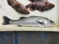 <p>枚方市の山本様、中波止3番で、ハネ42cm 1匹</p> <p>ウキ釣り 餌シラサエビ</p>
