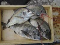 <p>岸和田市のおくやす様、旧一文字赤灯で、44cmまでの40cmオーバーを4匹</p> <p>他、合計7匹</p> <p>フカセ釣り オキアミ・コーン</p>