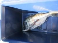 <p>枚方市の本石様 沖の一文字で</p> <p>チヌ45センチ</p> <p>ウキ釣り 餌シラサエビ</p>