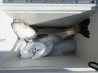 <p>奈良の熊野様、沖の一文字白灯で、スズキ73cm 1匹</p> <p>のませ釣り 餌アジ</p> <p>&nbsp;</p>