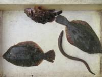 <p>堺市の岡田様、沖の一文字北で、カレイ 29cmまで2匹</p> <p>投げ釣り 餌青イソメ</p>