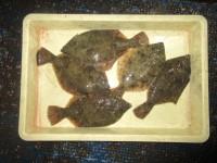 <p>堺市の岡田様、沖一文字カーブで27cm~30cmまでのカレイ5匹です!</p> <p>☆アオイソメの投げ釣り☆</p>