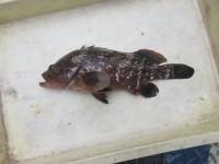 <p>岸和田市の田中様、沖の一文字白灯で、アコウ38cm 1匹</p> <p>ウキ釣り 餌シラサエビ</p>