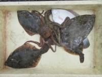 <p>吹田市の目崎様、沖の一文字北で、カレイ32cmまで5匹・タコ500g前後1匹</p> <p>投げ釣り 餌アオイソメ</p>