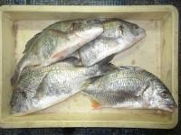 <p>京都府の吉田様、沖の一文字北で、チヌ42cmまで4匹</p> <p>投げ釣り 餌アオイソメ</p>