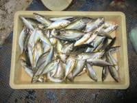 <p>岸和田市の礒田様、旧一文字赤灯で</p> <p>アジ100匹ほど釣られました!!</p>