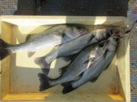 <p>枚方市の山本様、中波止3番で、ハネ40cmまで4匹</p> <p>ウキ釣り 餌シラサエビ</p>