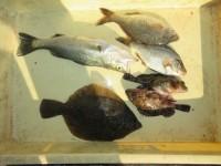 <p>豊中市の山口様(2人)沖の一文字北で、カレイ30cm1匹・タナゴ・ガシラ・ハネ</p> <p>投げ釣り 餌青イソメ</p>
