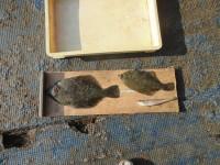 <p>泉大津市の岡本様、沖の北で、カレイ37cmまで2匹・キス20cm1匹</p> <p>投げ釣り 餌青イソメ</p> <p>&nbsp;</p>