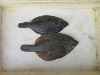 <p>京都府の安東様、沖の北で、カレイ31cmまで2匹</p> <p>投げ釣り 餌青イソメ</p>