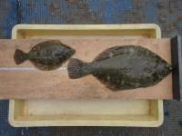 <p>羽曳野市の小野様、沖の北で、カレイ38.5cmまで2匹</p> <p>投げ釣り 餌青イソメ</p>