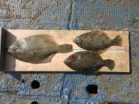 <p>和泉市の井原様、沖のカーブで、カレイ36cmまで3匹</p> <p>投げ釣り 餌青イソメ</p>