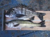 <p>泉佐野市の岡田様、中波止3番での「エビ撒き釣り」で45cmのハネです!</p> <p>堺市の岡田様、中波止2番でオキアミ(Lサイズ)のフカセ釣りで</p> <p>45.5cmのチヌ釣られました!!</p>
