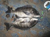 <p>堺市の岡田様、中波止2番で、チヌ44cm・45cm 2匹</p> <p>フカセ釣り 餌オキアミ</p>