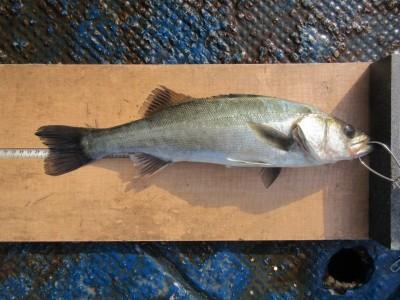 <p>枚方市の山本様(ハネ研)旧赤灯で、ハネ41cm1匹 ウキ釣り 餌シラサエビ</p>