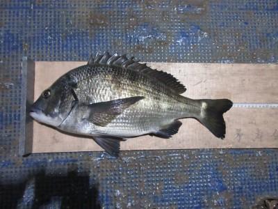 <p>長野県からお越しの沖中様、中波止3番で、50.5cmのチヌ フカセ釣り オキアミ</p>
