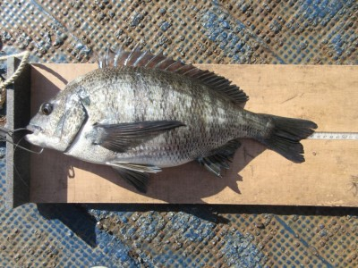 <p>枚方市の岩田様、旧の3番で、チヌ46cm 1匹 ウキ釣り 餌シラサエビ</p>